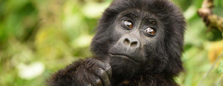 10 Days Best Gorilla Circuit Safari