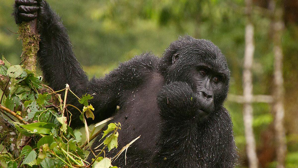25 Days Bwindi Luxury Safari   Luxury Uganda Holidays