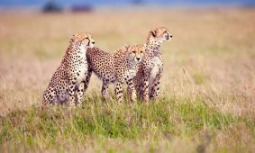 3 Days Luxury Serengeti Wildlife Safari