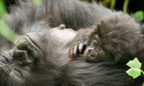 3 Days Virunga Gorilla Trekking Safari