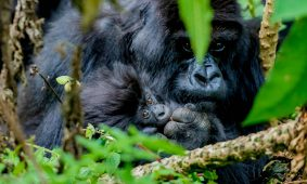 5 Days Rwanda Gorillas & Wildlife Safari