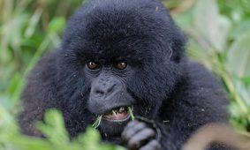8 Days Uganda Rwanda Luxury Safari